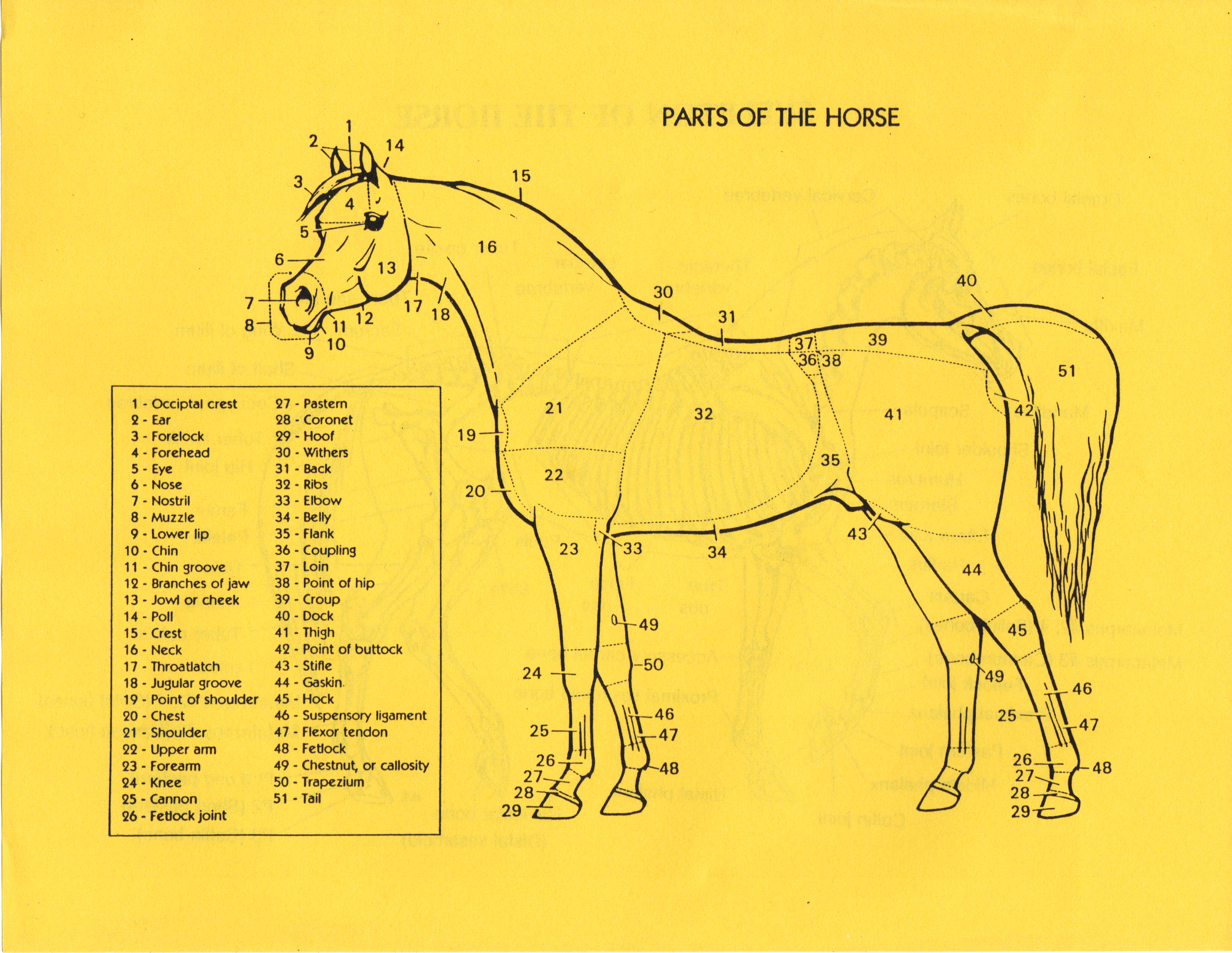 Wesco Farms Miniature Horses | Horse Conformation Info | Parts of ...